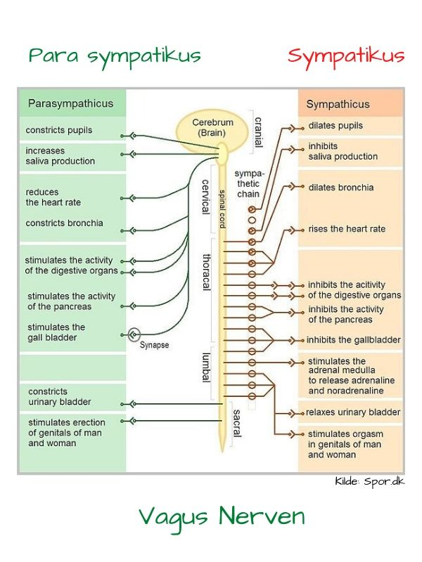 Vagusnerven diagram over para sympatiocus og sympatikus