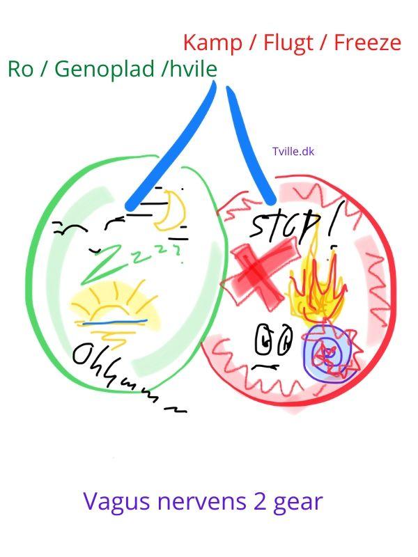 Vagus nerven har forbindelse til vores to-delte nervesystem; Det sympatiske og det parasympatiske